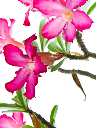 Closeup of Pink Bigononia or Desert Rose  tropical flower  on white background photo