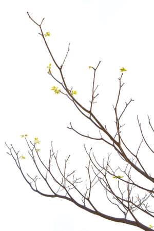 Plumeria tree s branch