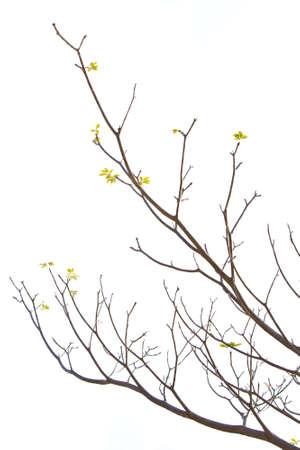 rama: Rama de �rbol de Plumeria s