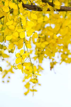 drumstick tree: Golden Shower Tree,  Cassia Fistula