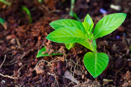 Small plant growing from soil in the garden Stock Photo - 13255212