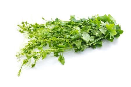 Ivy gourd Thai vegetable Coccinia grandis L Voigt science name