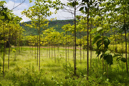 Teak farm in countryside of Thailand photo