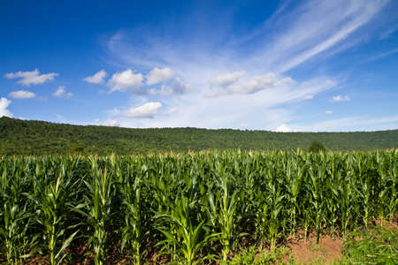 Corn farm in countryside of Thailand photo