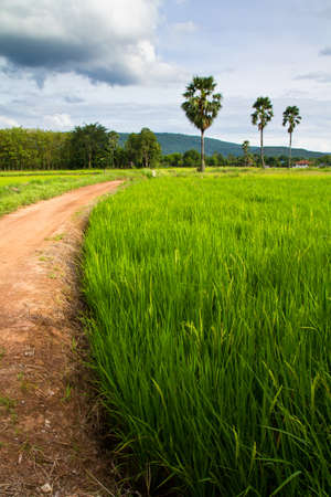 Rice field and road with rood palm trees Stock Photo