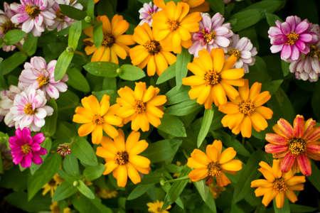 Zinnia flowers in the garden photo