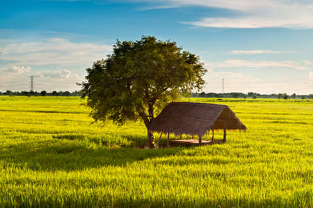 Primitive farmer hut and tree in rice field photo