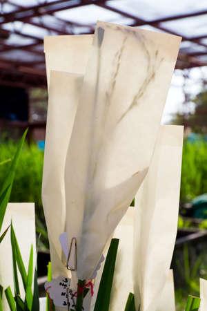 transgenic: Transgenic rice in paper bag