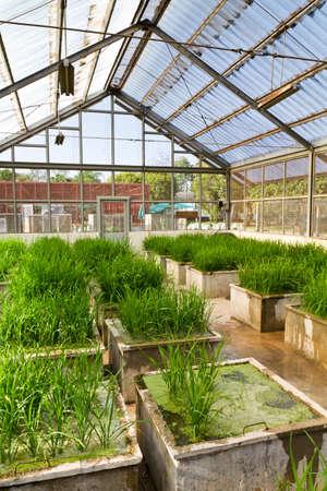transgenic: Transgenic rice in the greenhouse