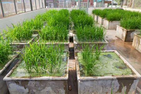 transgenic: Transgenic rice in the greenhouse