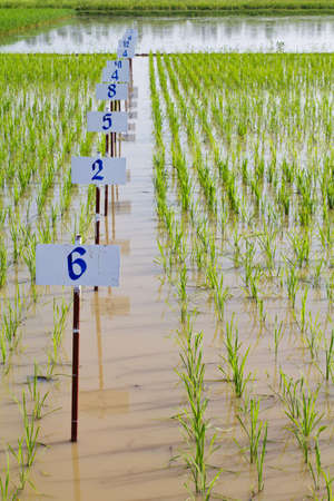 transgenic: Experimental rice farm   transgenic test  Stock Photo