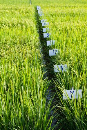 transgenic: Experimental rice farm   transgenic test  Stock Photo