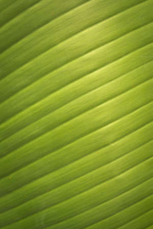 banana leaf: Banana leaf texture and background Stock Photo