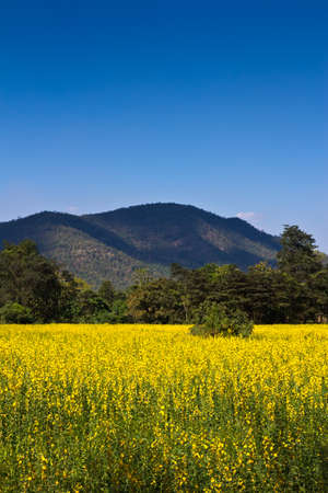 Yellow indian hemp flowers field with mountain photo