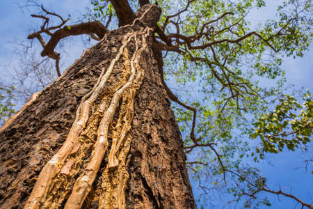 encroach: Roots on tropical tree trunk, sustainable environment