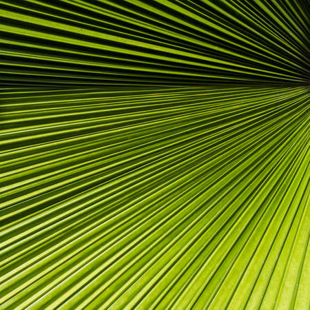 Abstract tropical palm leaf show straight lines texture photo