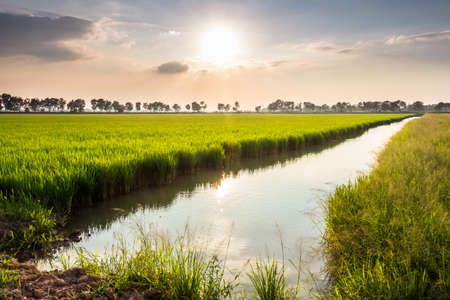 Waterside rice field with sunshine in countryside of Thailand