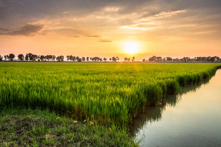 field of thai: Waterside rice field with sunshine in countryside of Thailand