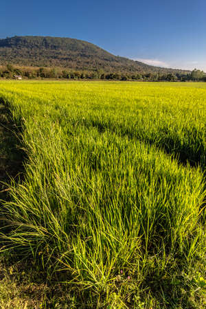 Landscape of rice field  in Phitsanulok, Thailand photo