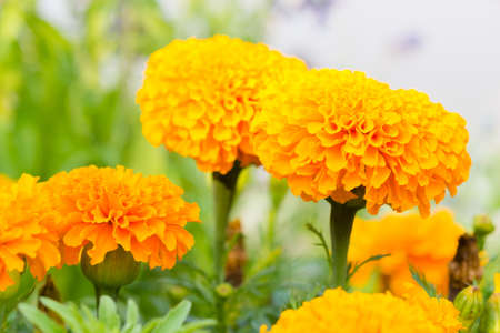 garden marigold: Marigold flower in the garden