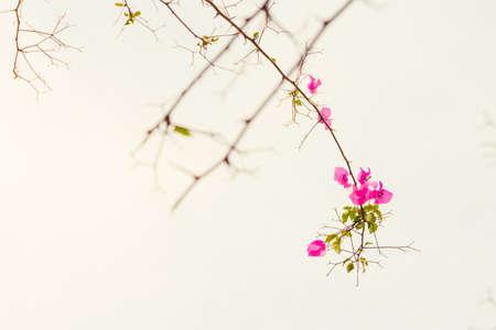 bougainvilleas: Retro Bougainvilleas flower on treetop