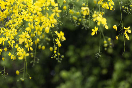 drumstick tree: Flowers of Golden shower tree blooming and hanging from branch Stock Photo
