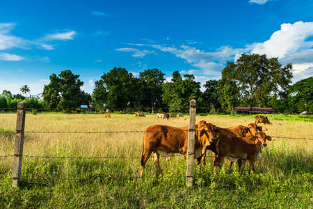 cattle wire: Thai beef cow in the farm area Stock Photo