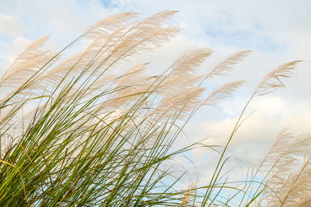Reed field waver in the wind Stock Photo