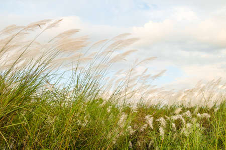waver: Reed field waver in the wind Stock Photo