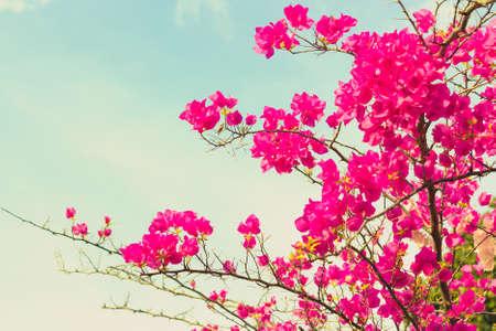 bougainvilleas: Bougainvilleas or Paper flower treetop in vintage color