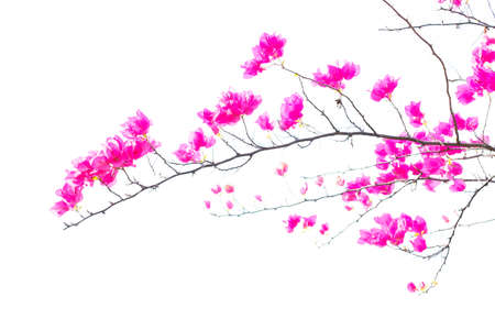 Bougainvilleas or Paper flower treetop isolate (against white background) photo