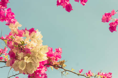 bougainvilleas: Bougainvilleas or Paper flower treetop in vintage color