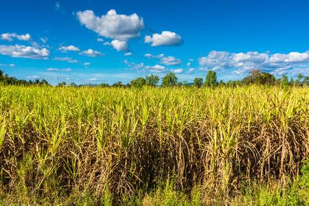 sugar cane farm: Sugar cane farm in countryside of Thailand