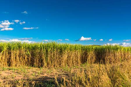 sugar cane farm: Landscape of sugar cane farm in countryside of Thailand