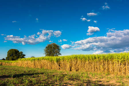 Landscape of sugar cane farm in countryside of Thailand