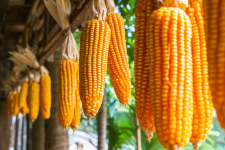 hanged: Cob corns hanged under the house eaves