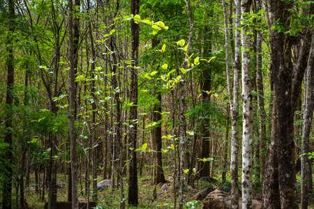 deciduous: Closeup Mixed Deciduous forest in summer