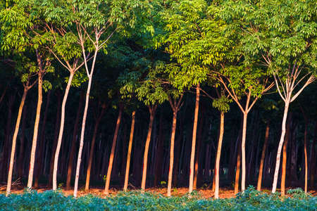farm land: Rubber trees in farm land Stock Photo