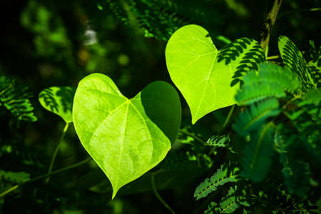 Closeup two leaves like a heart shape in the forest Archivio Fotografico