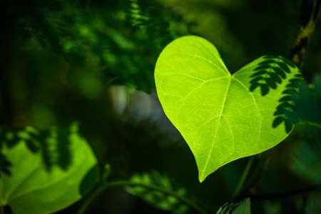 cuore: Primo piano del foglio come una forma di cuore nella foresta