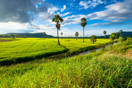 toddy palm: Rice farm with toddy palm tree in countryside of Thailand