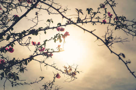 bougainvilleas: Silhouette Bougainvilleas treetop  against sunlight, retro color style Stock Photo