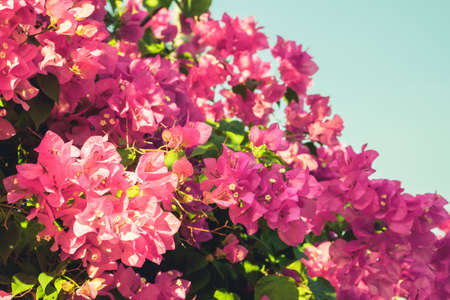 bougainvilleas: Bougainvilleas flower blooming, vintage color Stock Photo