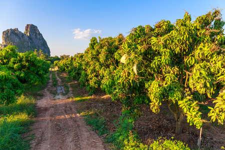 Mango Farm in countryside of Thailand Stock Photo