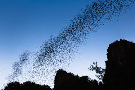 forage: A lot of bats flying out of their cave in the evening for forage, Phitsaunlok, Thailand