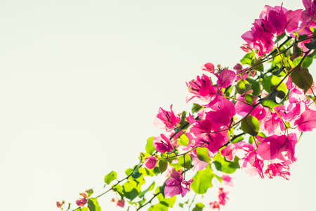 bougainvilleas: Bougainvilleas treetop against white sky, vintage color