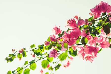 Bougainvilleas treetop against white sky, vintage color