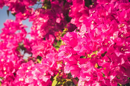 bougainvilleas: Bougainvilleas flower blooming on treetop, vintage color Stock Photo