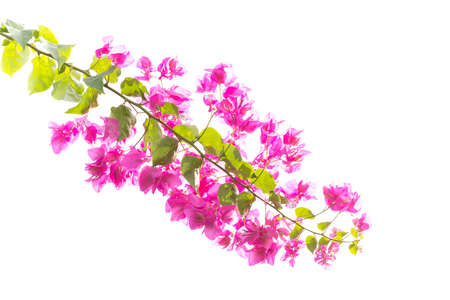 bougainvilleas: Bougainvilleas or Paper flower treetop isolate (against white background) Stock Photo