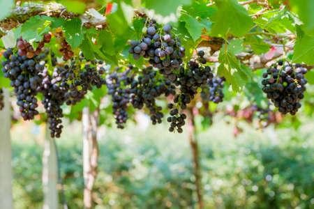 hojas parra: Uvas frescas en la vid